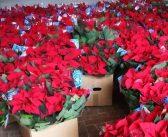 Stelle di Natale Lilt, un successo: distribuite oltre 20mila piante